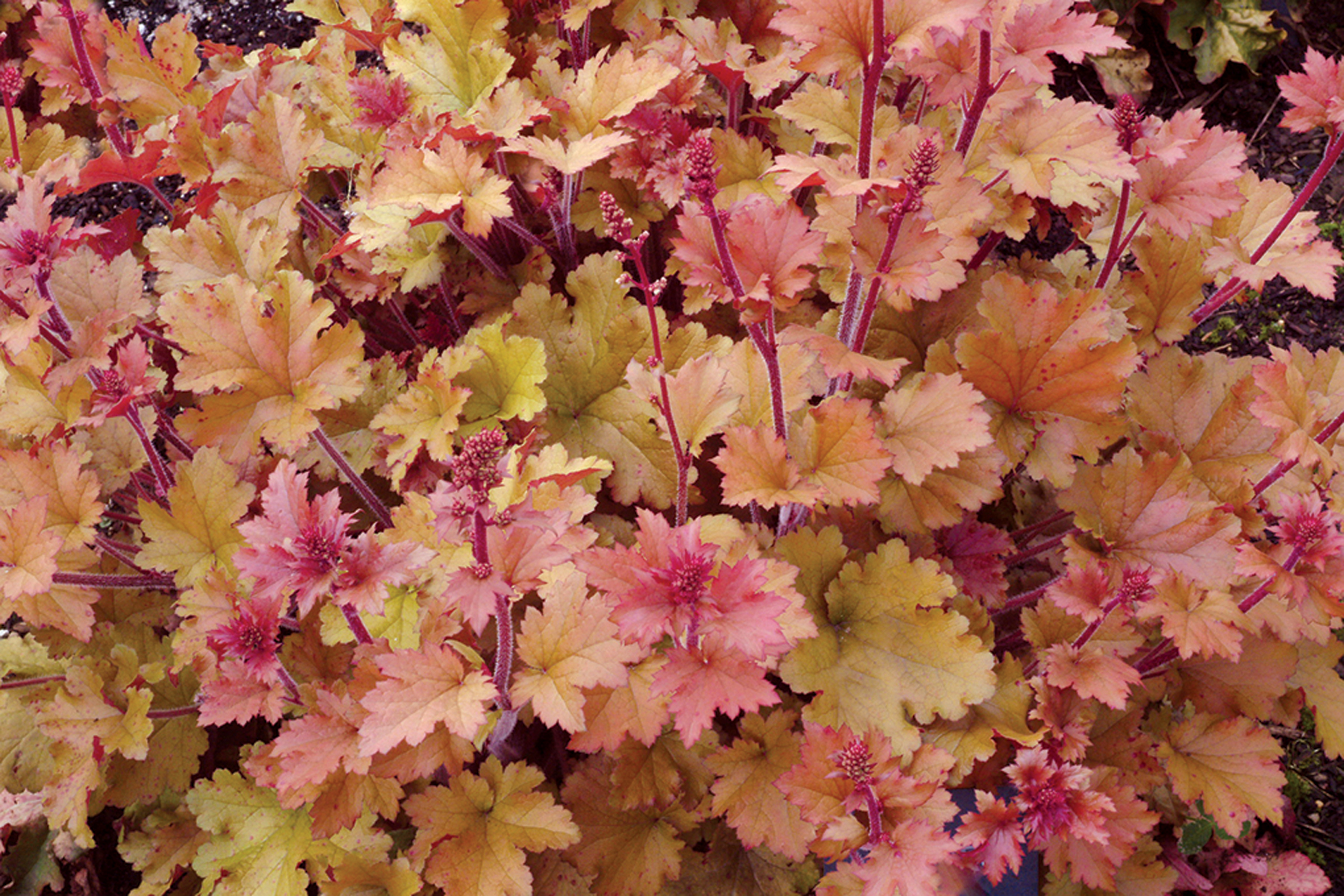 heuchera marmalade. Black Bedroom Furniture Sets. Home Design Ideas
