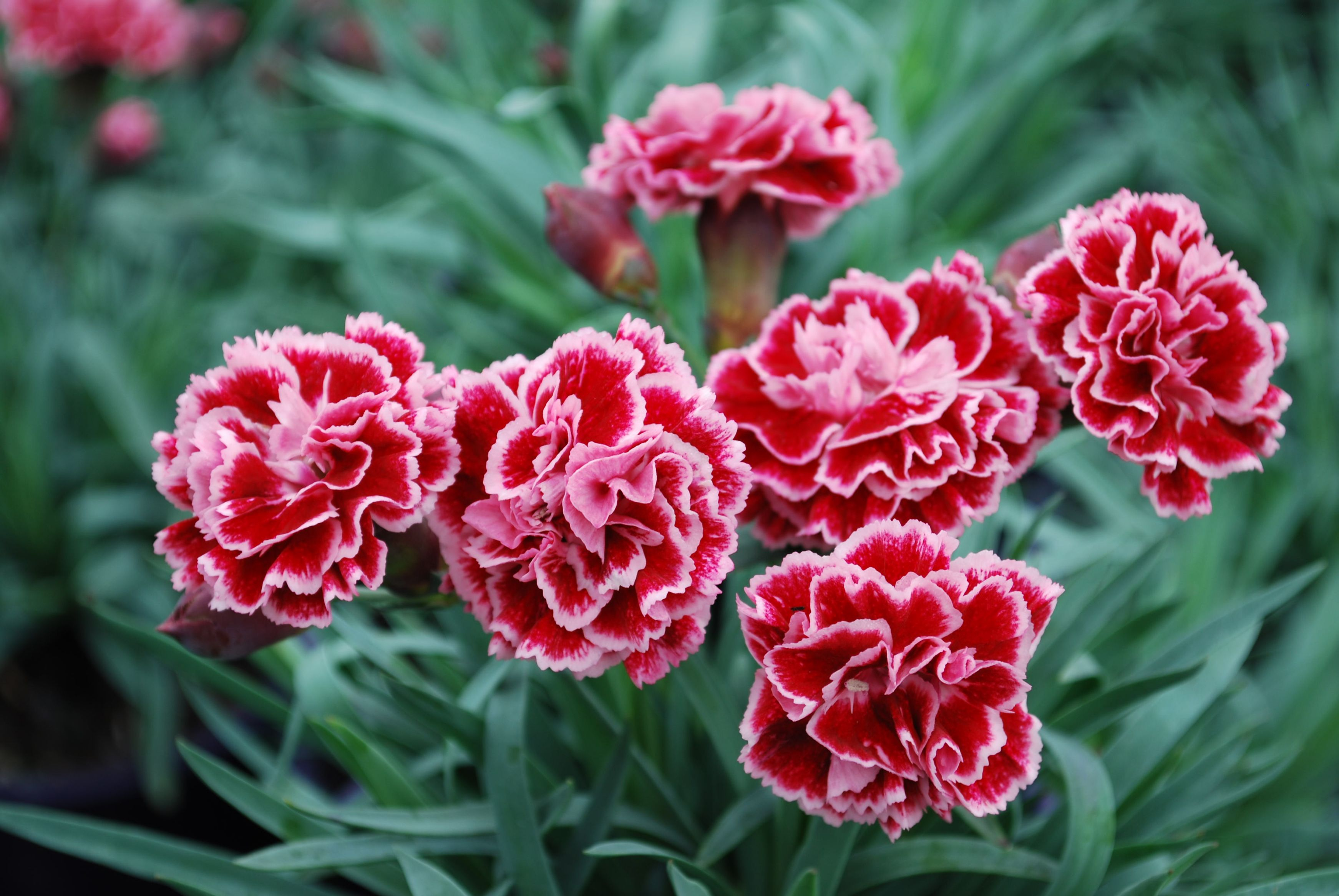 Picture of Live Dianthus Scented Sugarplum Plant Fit 1GAL Pot