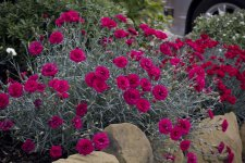 Dianthus Waterloo Sunset