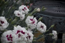 Dianthus Bright Eyes