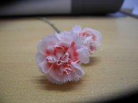 Dianthus Dancing Queen