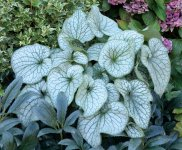 Brunnera Alexanders Great