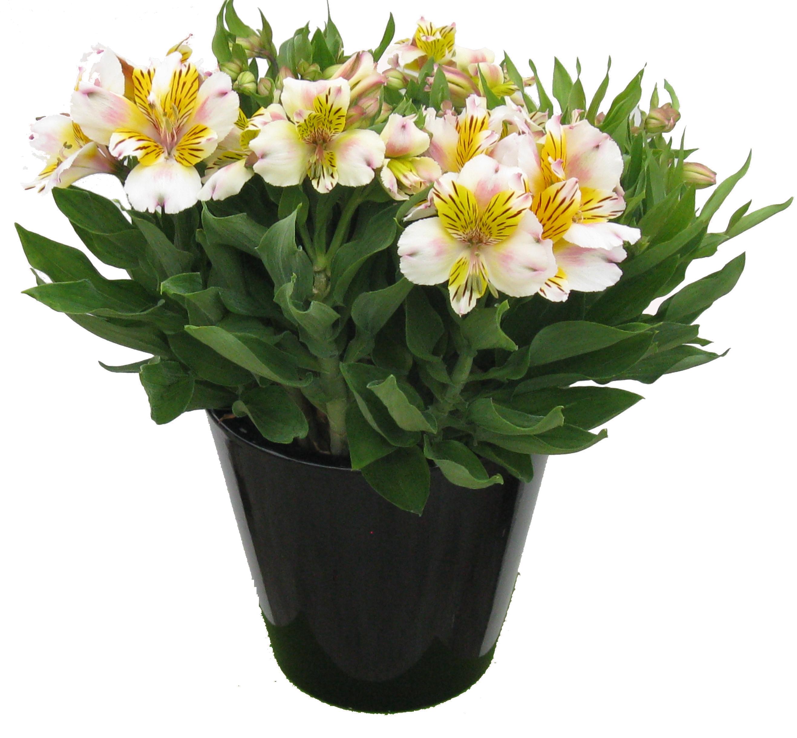 alstroemerias range of plants. Black Bedroom Furniture Sets. Home Design Ideas