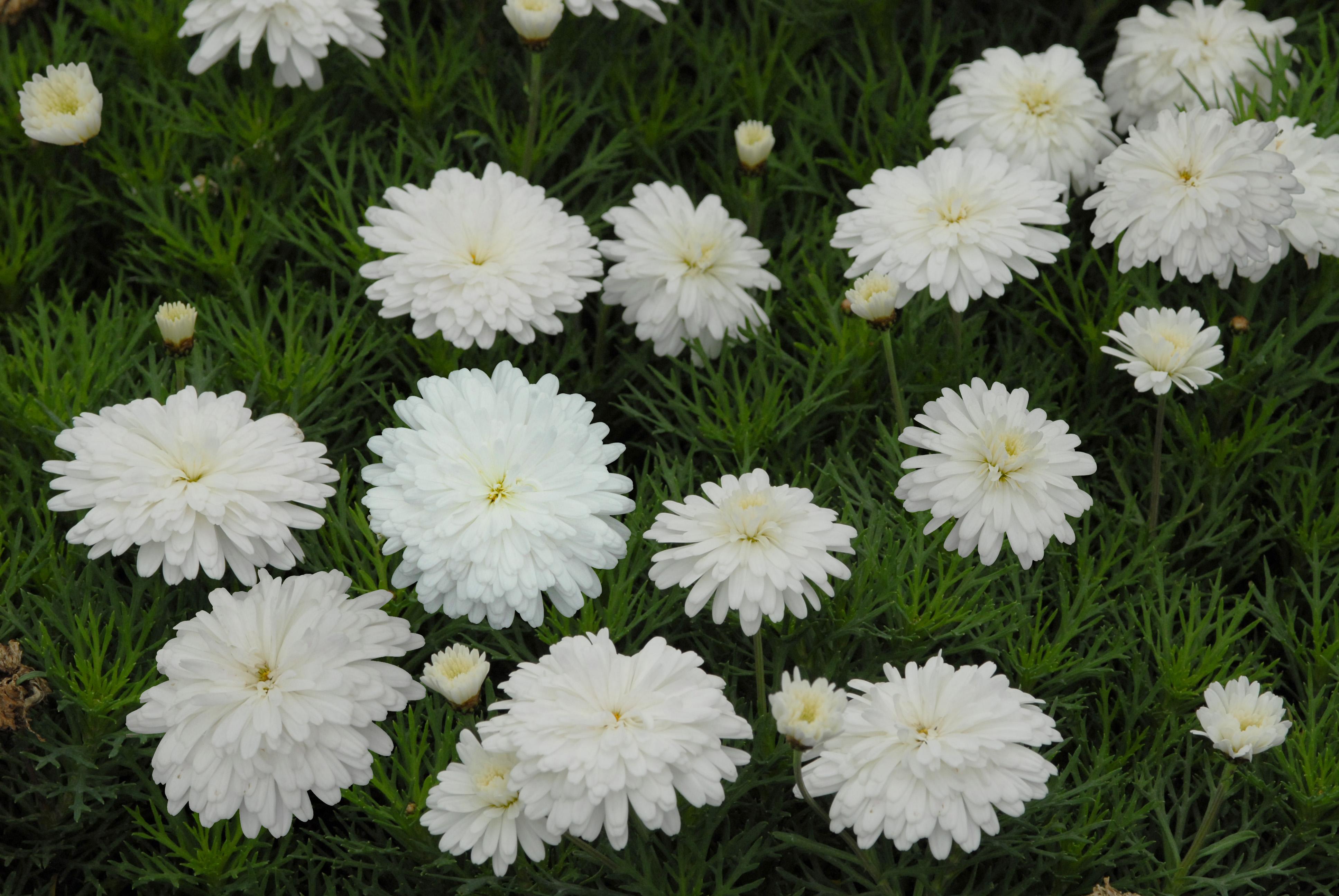 Federation daisy purity living fashion federation daisy purity izmirmasajfo