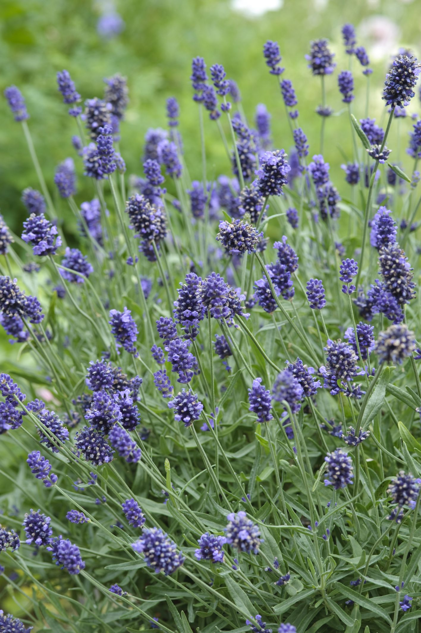 "Picture of 2 (TWO) Live Lavender Sweet aka Lavandula angustifolia Herbs Plant Fit 3.5"" Pot"