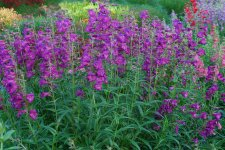 Penstemon Cha Cha Purple