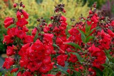 Penstemon ChaCha Cherry