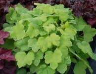 Heucherella Happy Hour Lime