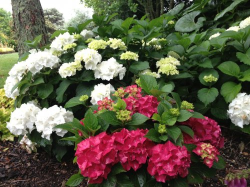 Hydrangeas For Magical Flower Power In The Shade